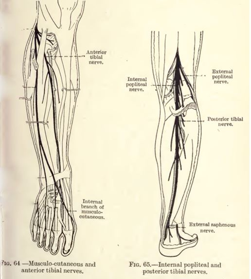 Sciatica and the sciatic nerve RS4supplements.com